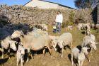 Élevage d'ovins sur le Mont-Lozère